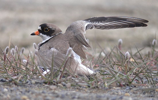 One of the strategies to confuse predators near the nest is to feign injury. Here a Semipalmated Plover (Charadrius semipalmatus) pretending to have a broken wing. Alaska 2012 (photo: Vojtěch Kubelka)